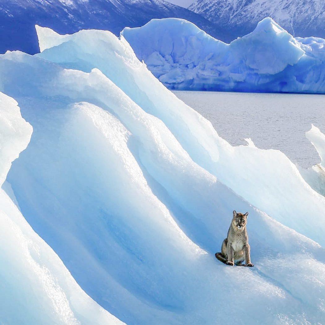 Puma on an iceberg