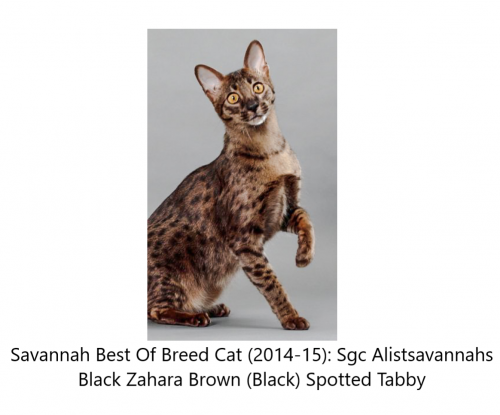 Savannah cat best of breed