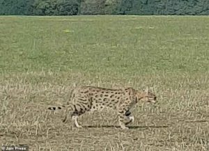 F1 Savannah cat outside in the countryside