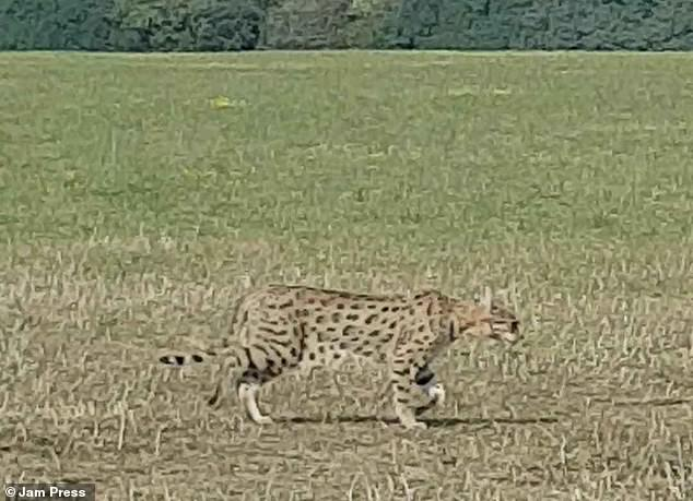 Savannah cat outside in the countryside