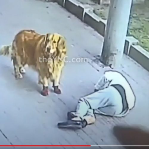 Mr Goa knocked unconscious by a falling cat. His dog looks on.