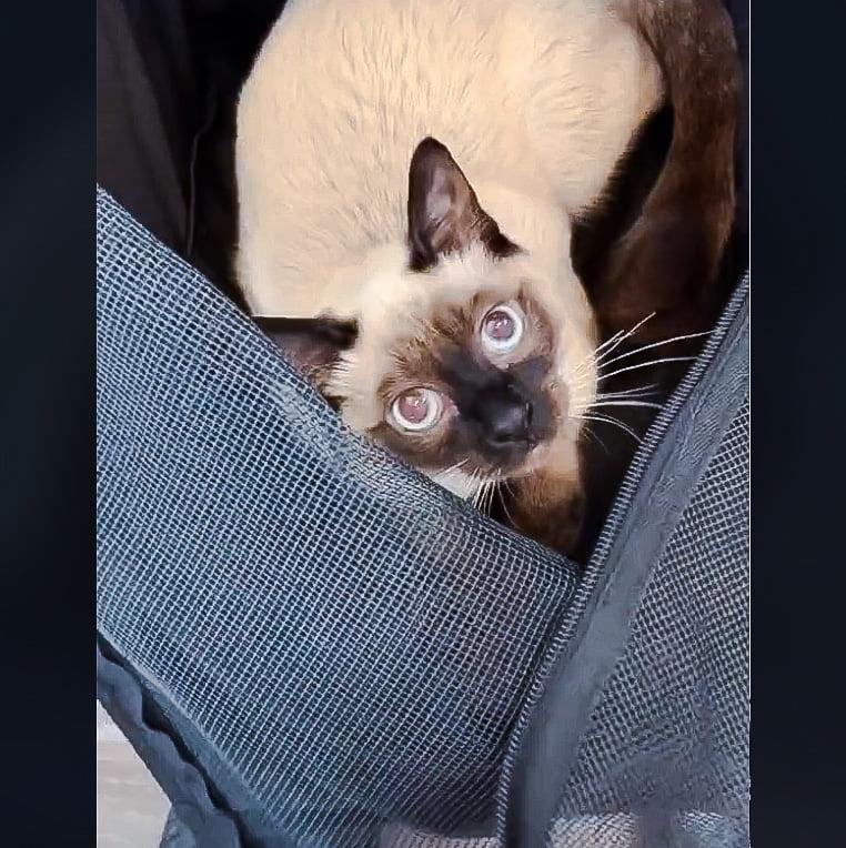 Siamese cat loves his cat stroller