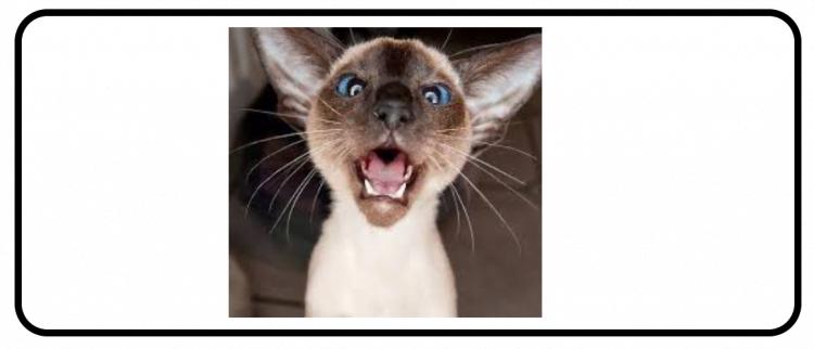 Siamese cat yowl