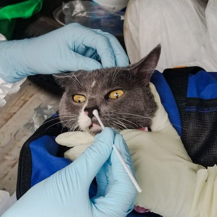 Testing cats for Covid-19 in Texas
