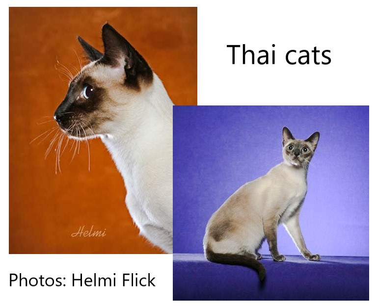 Thai Cats Describing Their Place In The Siamese Cat Family Poc