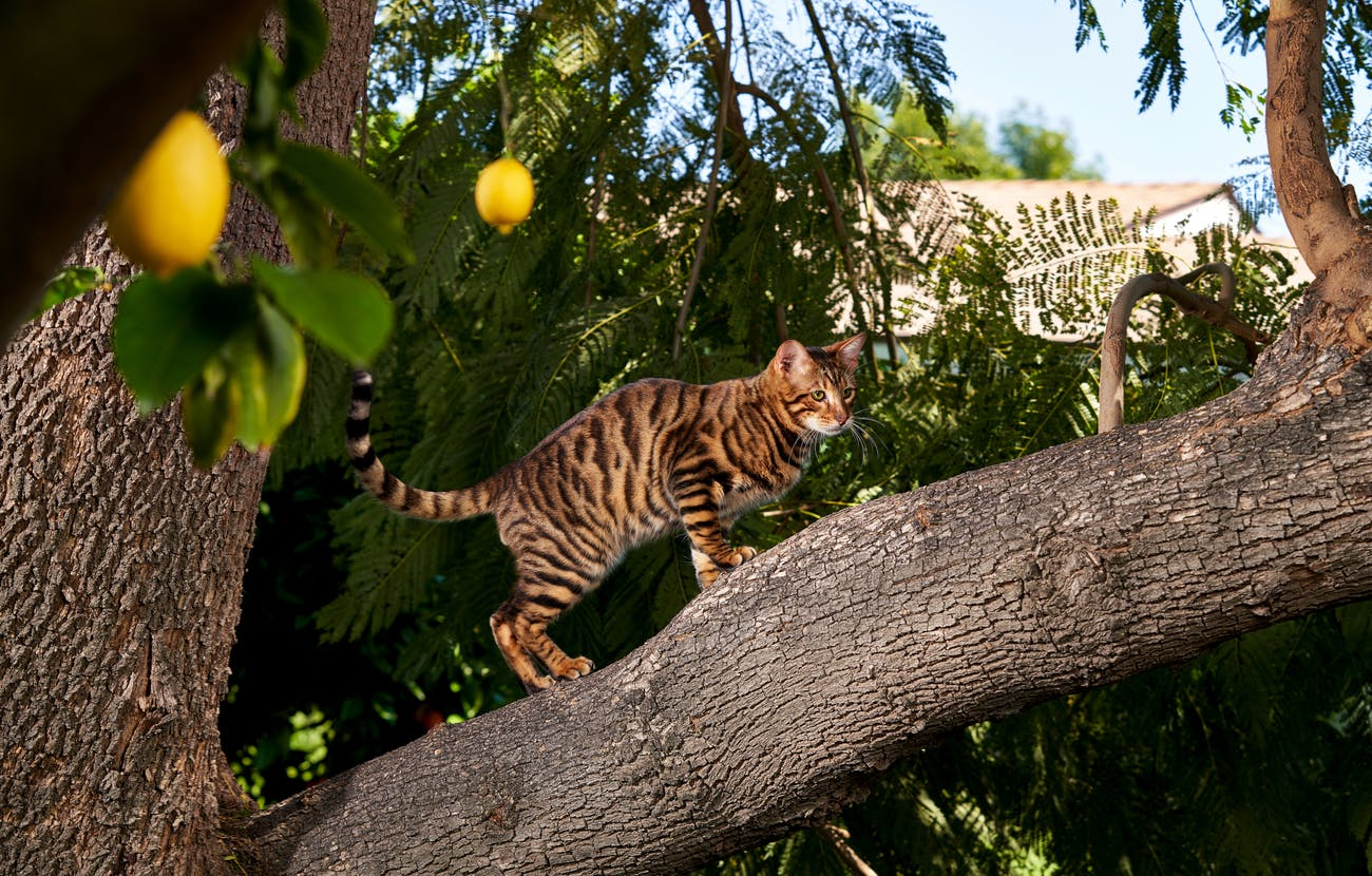 Toyger in a tree