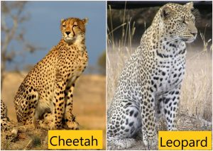 Cheetah and leopard