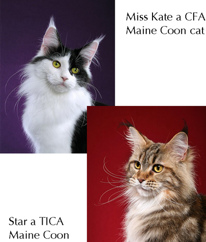 TICA and CFA Maine Coon comparison