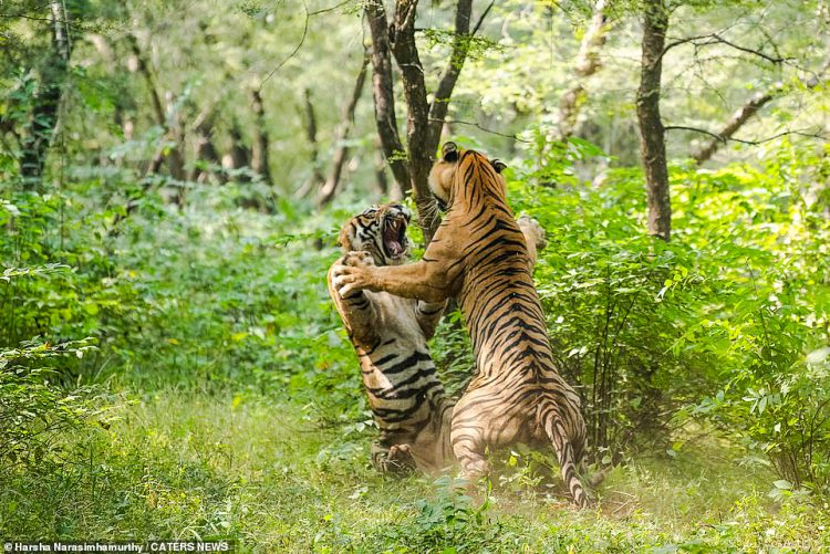 Tiger brothers fight hard in Ranthambore National Park in Sawai Madhopur, Rajasthan