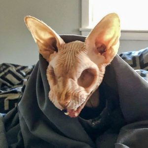 Jasper - a hairless and eyeless cat