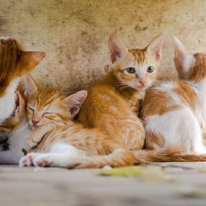 Litter of ginger tabby and white kittens