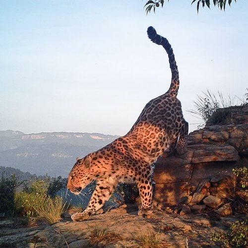 North China leopard