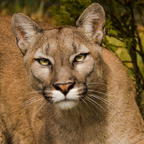 Puma aka mountain lion