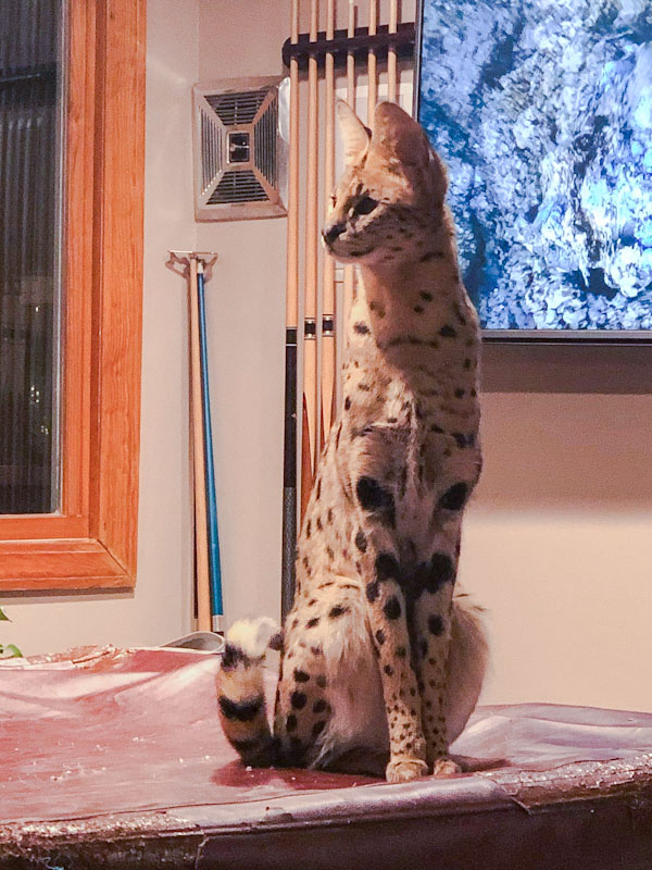 Serval in the home