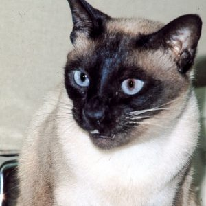 Siamese cat meowing