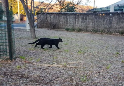 Very large feral cat in Australia