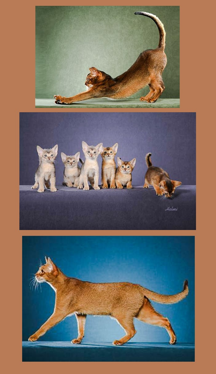 What does the Abyssinian cat look like?