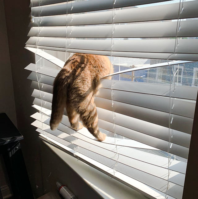 Cat playing in a window blind