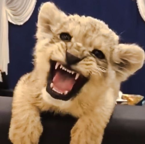 Lion cub tries to roar