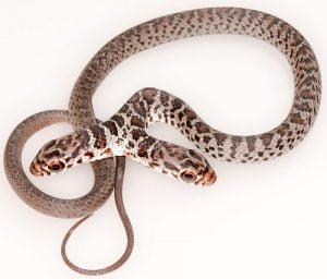 2-headed snake
