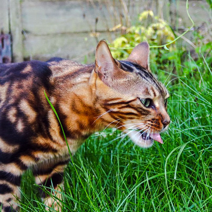 Bengal cat Coco eating grass