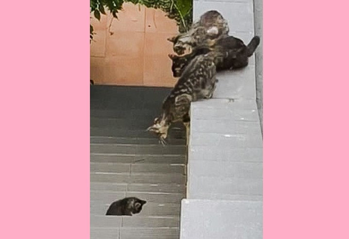 Brave mother cat commits to rescuing kitten in difficult jump