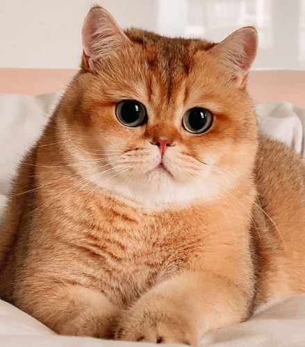 Breadcoat British Shorthair