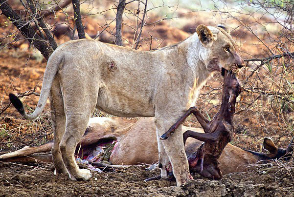 Did this lion try and bring this unborn antelope back to life?