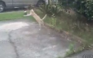 Domestic cat leaps high and far to catch a bird