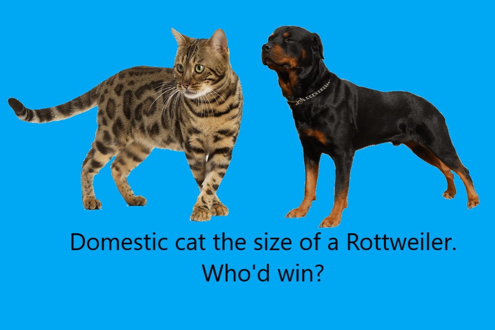 Domestic cat the size of a Rottweiler. Who'd win?