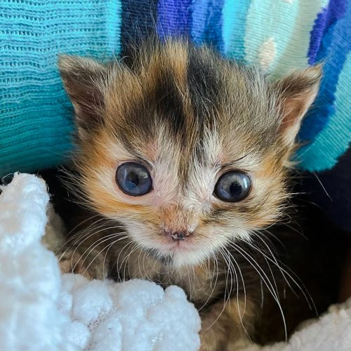 Gorgeous bug-eyed calico kitten