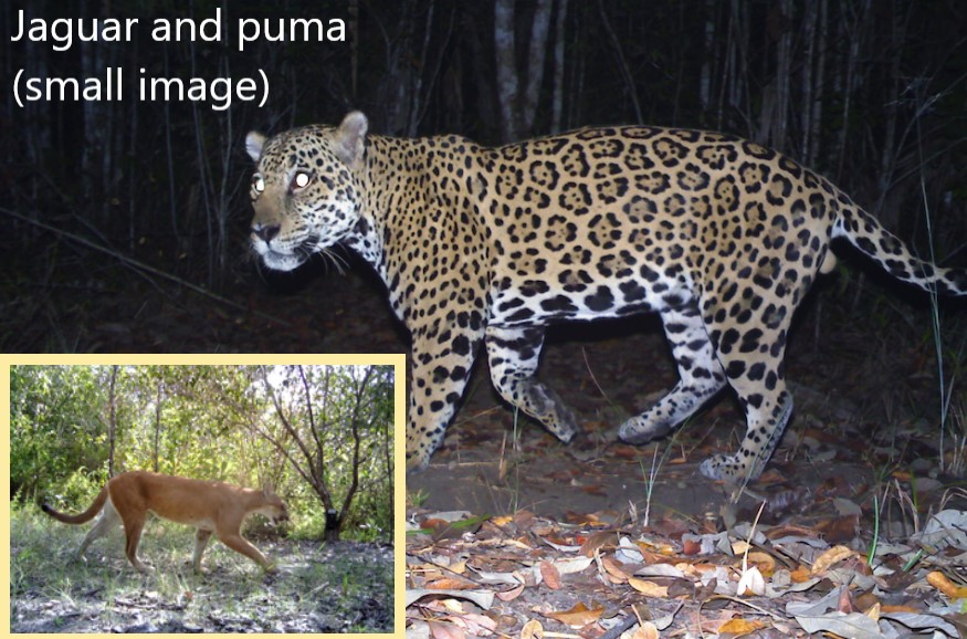 Jaguar and puma in Belize photographed by British army