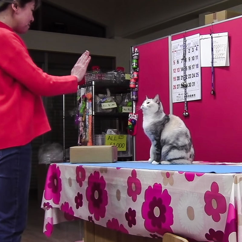 Japanese dog trainer trains her cat to carry out complex movements