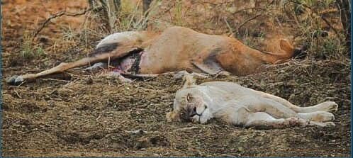 Lioness sleeps by the side of an antelope she has killed