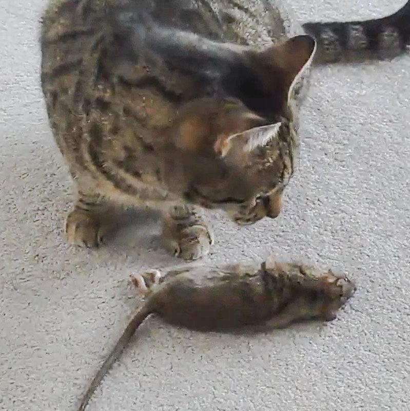 My cat catches but won't eat a rat