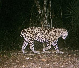 Short-tailed jaguar in Belize and Guatemala