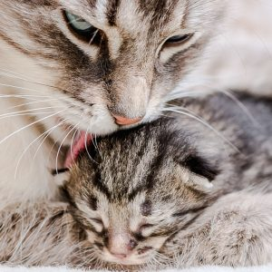 Single newborn kitten cuddling up to mother