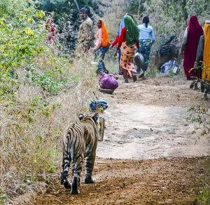 Tiger walking down country track after a group of women in India's Ranthambhore national park