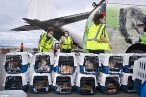 Cat and dog rescue flight from Hawaii in C-130 Hercules plane