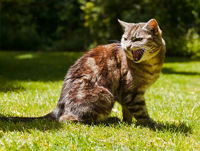 Aggressive roaming male cat
