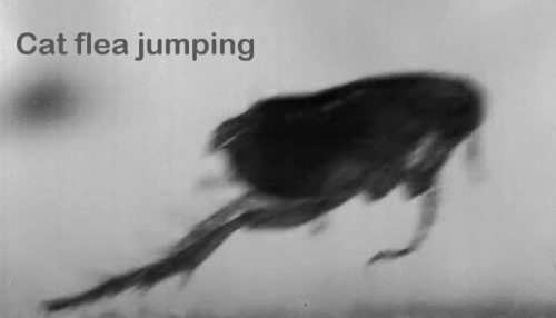 Cat flea jumping