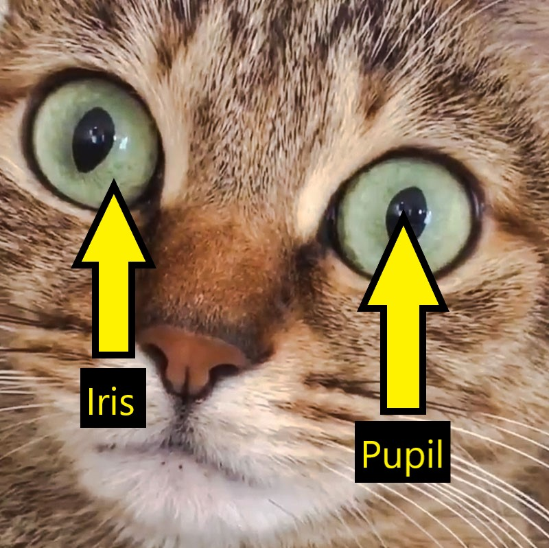 Cat's eyes dilate after hiccup