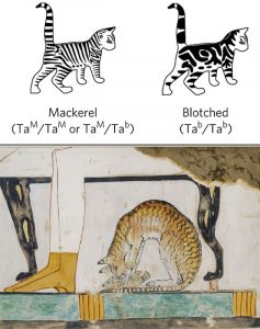 Development of the blotched tabby domestic cat