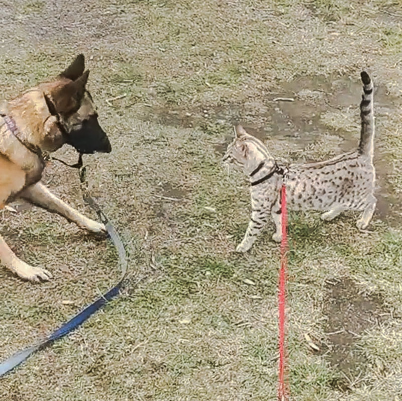 Dog on lead meets cat on lead outside see what happens