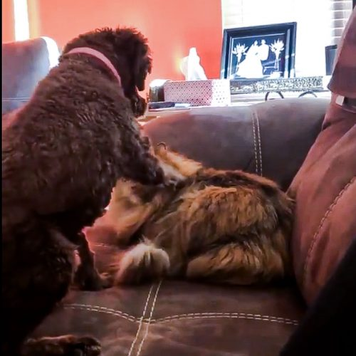 Dog strokes cat who reciprocates the affection (video)