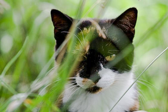 Free-roaming calico cat