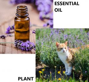 Is lavender safe for cats?