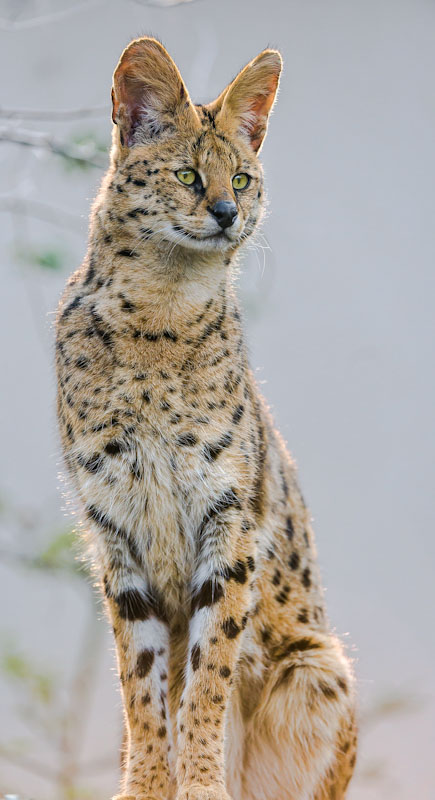 Lanky serval