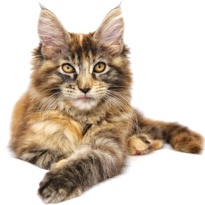 Maine Coon on white