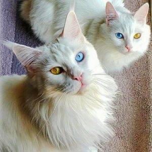 Maine Coon with odd-eyes